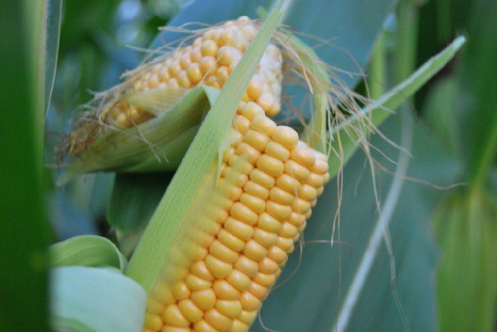 20121012_maisplant_genetisch