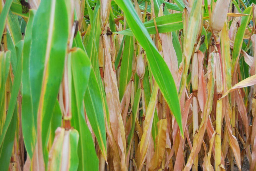 Mais oogst 2012 mais