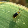 Maiswortelkever