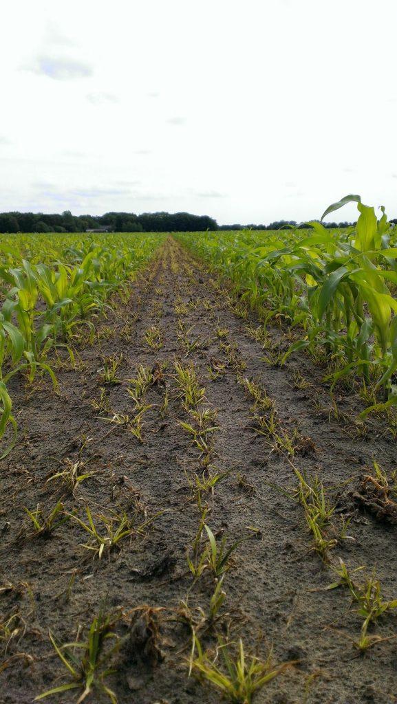 proterra maize herstelt van onkruidbestrijding